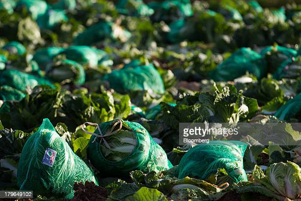 Sacks of harvested napa cabbages sit in a field on Anbandeok Hill in Gangneung South Korea on Thursday Sept 5 2013 South Korea's second quarter gross...