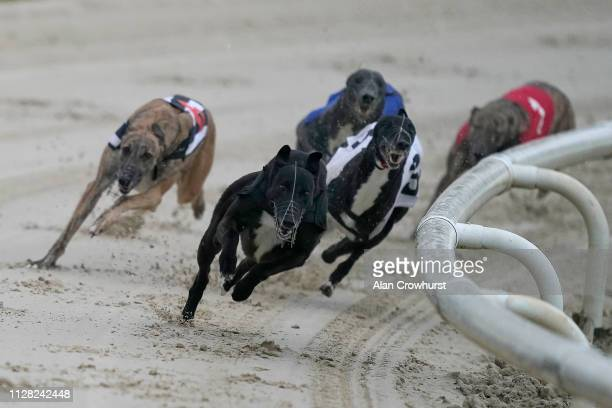 Sacred Act lead around the last bend to win in the 285m sprint race at Coral Brighton and Hove Greyhound Stadium on February 08, 2019 in Brighton,...