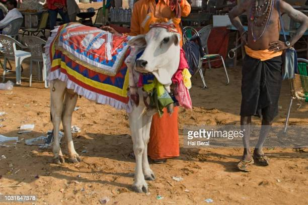 sacred cow with hindu holy man - faquir - fotografias e filmes do acervo