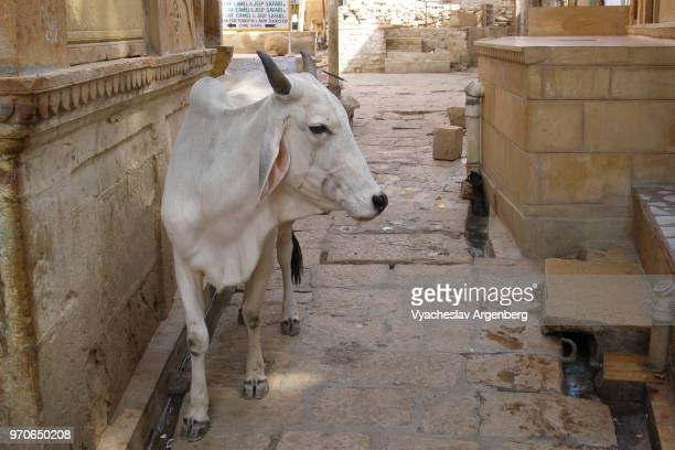 sacred cows are walking the alleyways of the jaisalmer fort, rajasthan, india - argenberg ストックフォトと画像