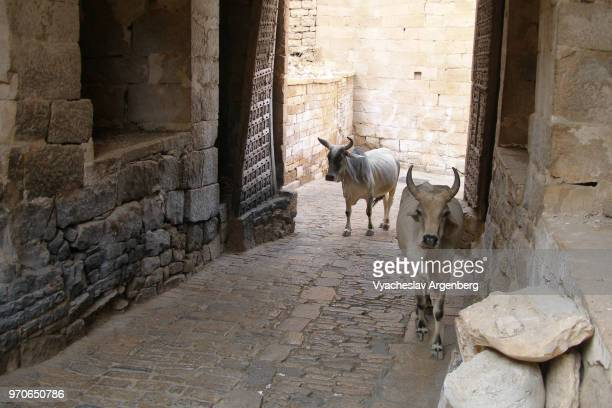 sacred cows are walking the inner streets of the medieval jaisalmer fort, rajasthan, india - argenberg stock pictures, royalty-free photos & images
