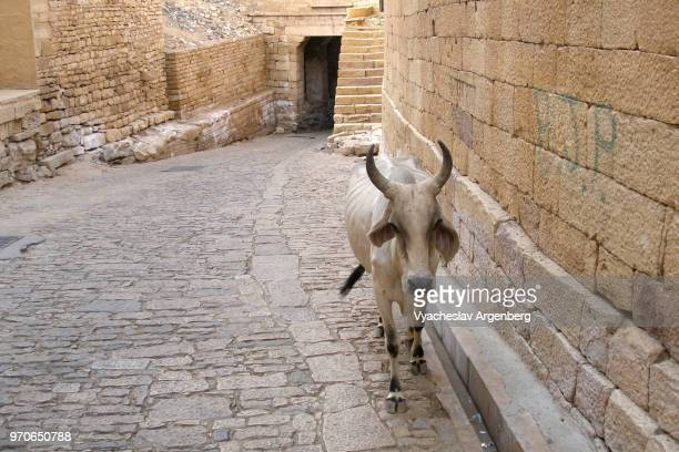 sacred cows are walking the inner streets of the medieval jaisalmer fort, rajasthan, india - argenberg fotografías e imágenes de stock