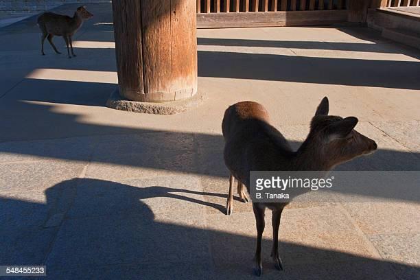 Sacred deer at Todai-ji Temple in Nara, Japan