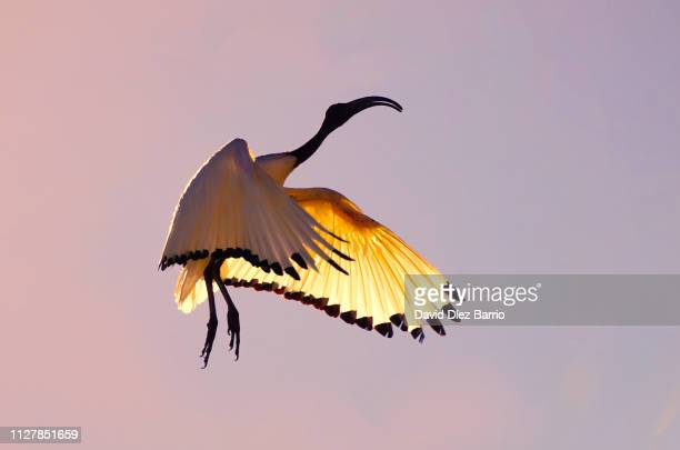 sacred ibis (threskiornis aethiopicus) in flight at sunset - cielo stock pictures, royalty-free photos & images