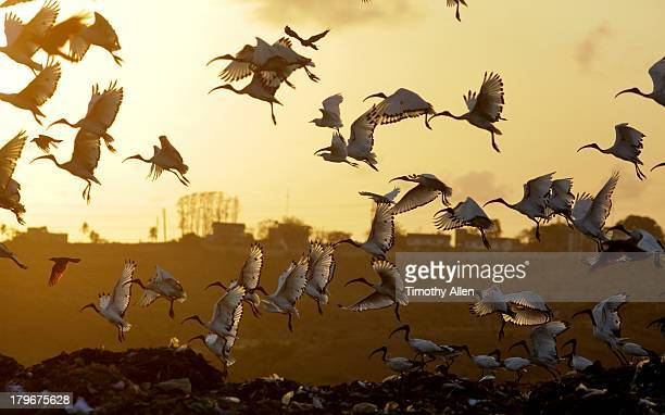sacred ibis (threskiornis aethiopicus) in flight - mombasa stock pictures, royalty-free photos & images