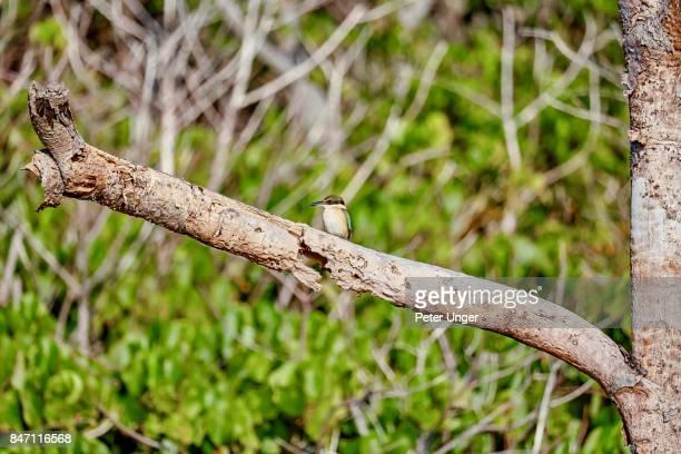 Sacred Kingfisher bird on branch at North Stradbroke Island,Queensland,Australia