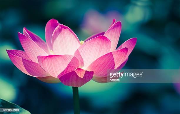 loto sacro cros elaborazione immagine - fiore di loto foto e immagini stock