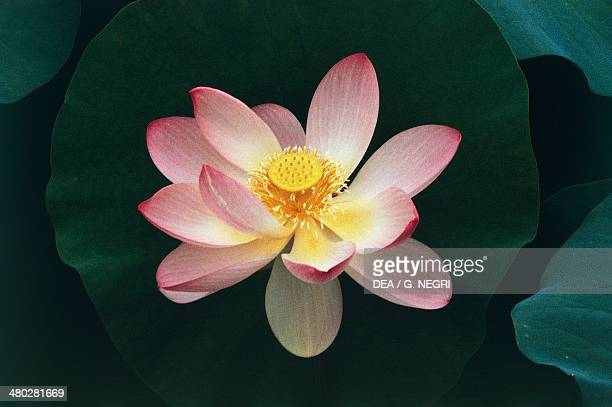 Sacred Lotus Nelumbonaceae