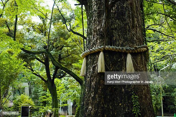 sacred tree - 神社 ストックフォトと画像