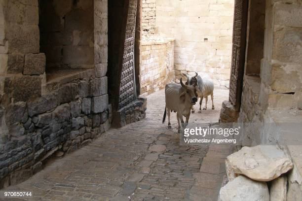 sacred white cows are walking the inner streets of the yellow sandstone jaisalmer fort, rajasthan, india - argenberg fotografías e imágenes de stock