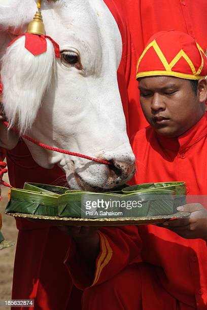 Sacred white oxen are offered seven kinds of food during the annual Royal Ploughing Ceremony at Sanam Luang Thailand's Crown Prince Maha...