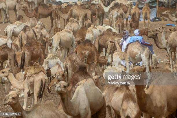 Sacrificial animals were waited to be sold at Marbat Livestock Market after their value increased due to drought and exportation with Senegal and...