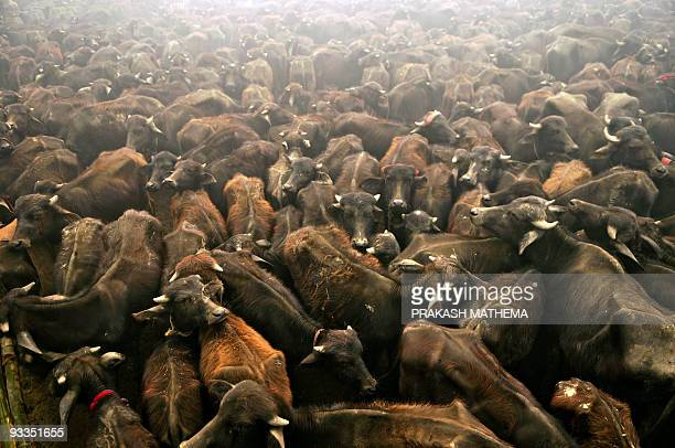Sacrificial buffaloes are seen in a holding pit before being slaughtered as offerings to the Hindu goddess Gadhimai in Bariyapur village Bara...
