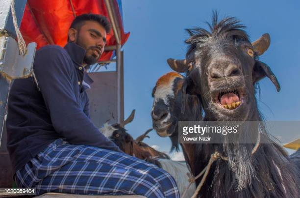 Sacrificial goat kept for sale bleats, in a market, before the upcoming Muslim festival Eid al-Adha on August 20, 2018 in Srinagar, the summer...