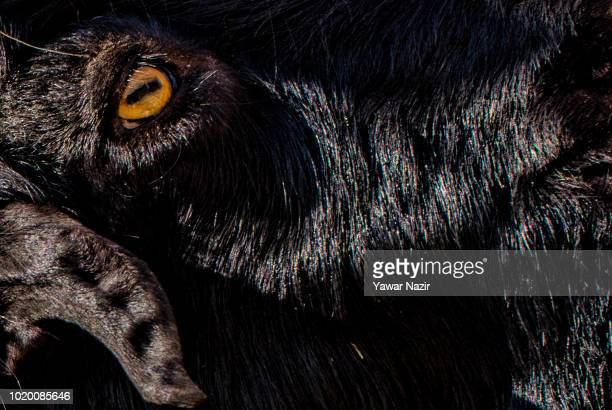 A sacrificial goat kept for sale in a market before the upcoming Muslim festival Eid alAdha on August 20 2018 in Srinagar the summer capital of...
