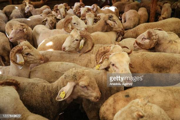 Sacrificial lambs are seen at a livestock market during the first day of the Eid alAdha in Istanbul Turkey on July 31 2020