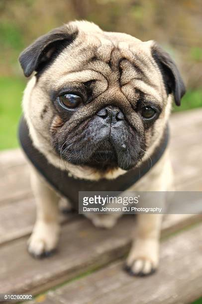 sad and cute pug dog - seeing eye dog stock photos and pictures