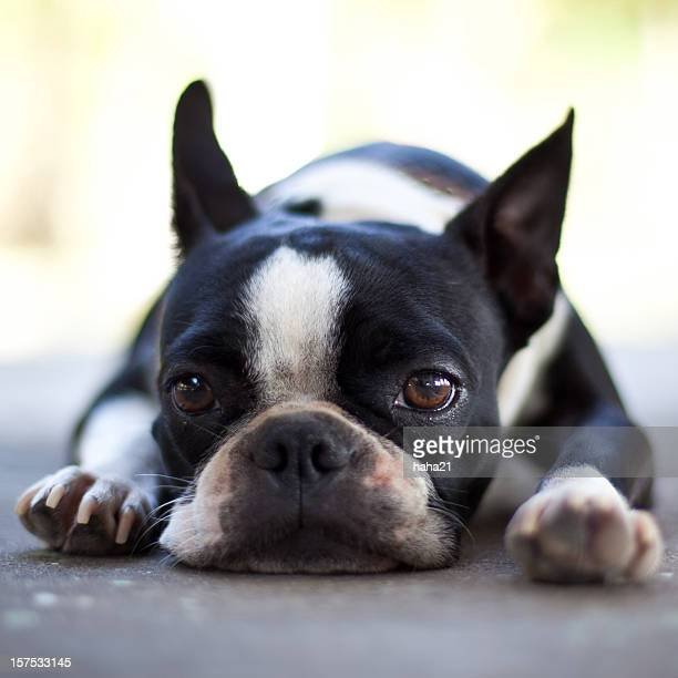 Sad Boston Terrier Dog