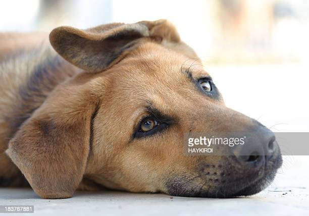 Sad brown dog lying down on floor