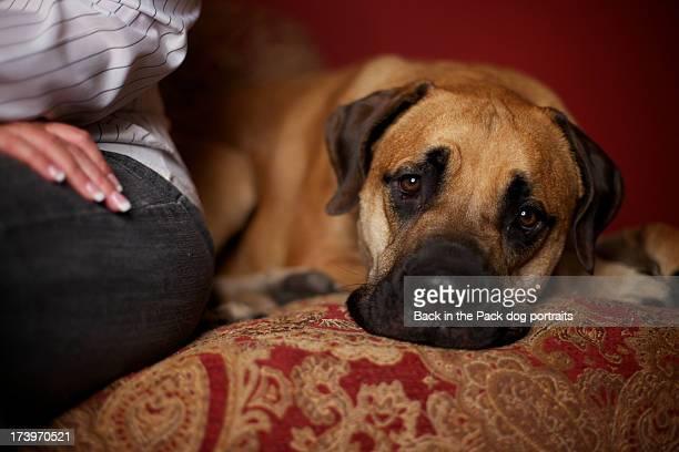 Sad bull mastiff dog sitting next to woman