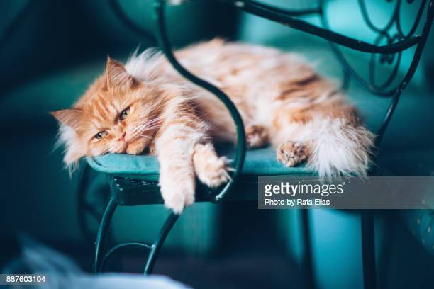 sad cat - persian stock photos and pictures
