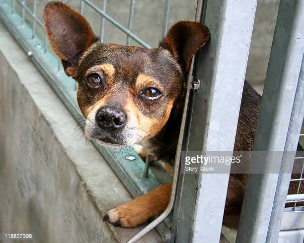 i, sad chihuahua - dog cruelty stock pictures, royalty-free photos & images