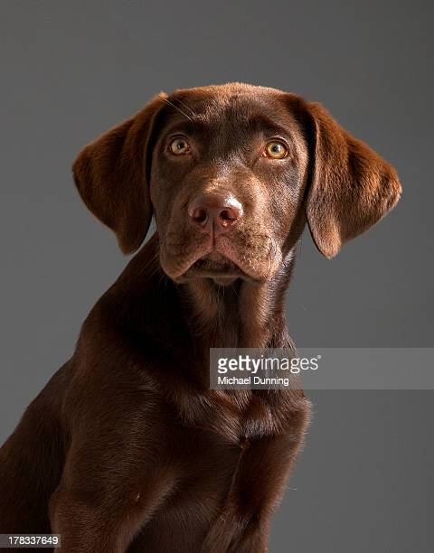sad dog - chocolate labrador stock pictures, royalty-free photos & images
