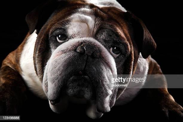 Traurig Englische Bulldogge