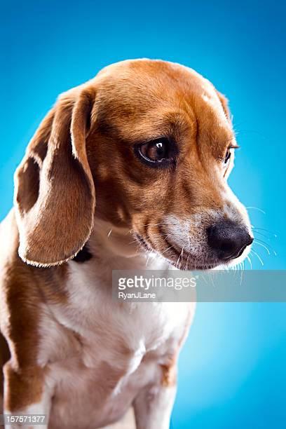 Sad Face Beagle Portrait