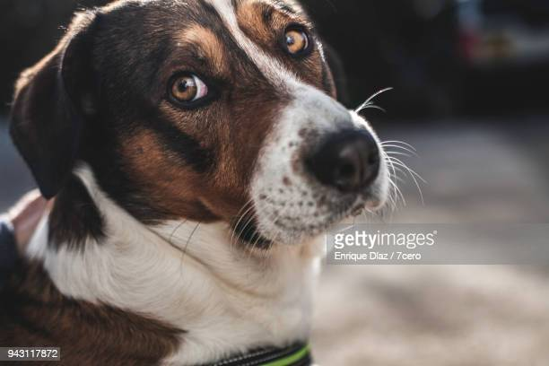 sad faced dog with big brown eyes - whisker stock pictures, royalty-free photos & images
