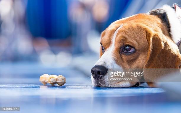 sad looking beagle dog with a chew bone - dog bone stock pictures, royalty-free photos & images