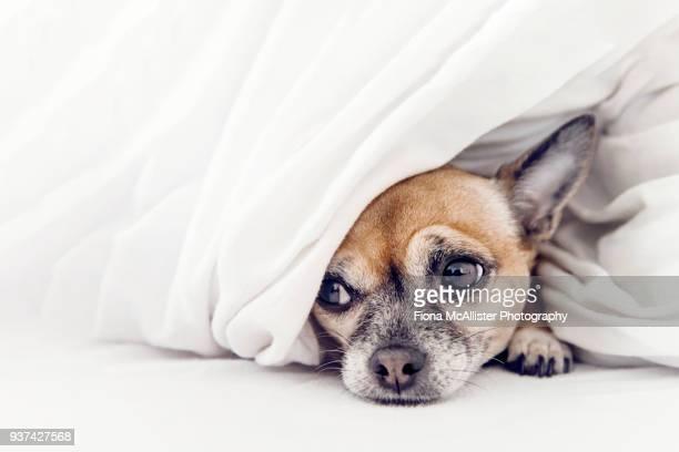 sad looking dog feeling unwell - cão fraldeiro - fotografias e filmes do acervo