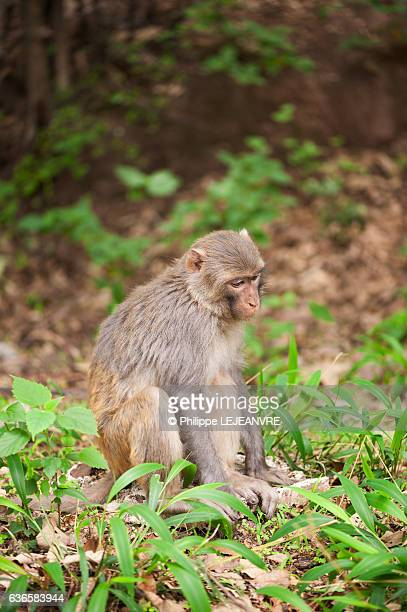 Sad looking rhesus macaque  sitting in the forest of Lushan mountain - Xichang - China
