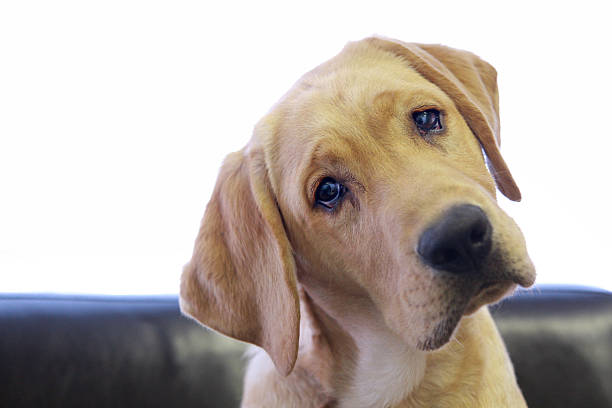 Sad Looking Yellow Lab With Head Tilted On Chair Wall Art