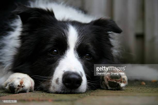 sad moping border collie dog - nee nee stock pictures, royalty-free photos & images