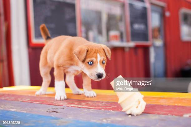 sad puppy looking at wasted ice cream - failure stock pictures, royalty-free photos & images