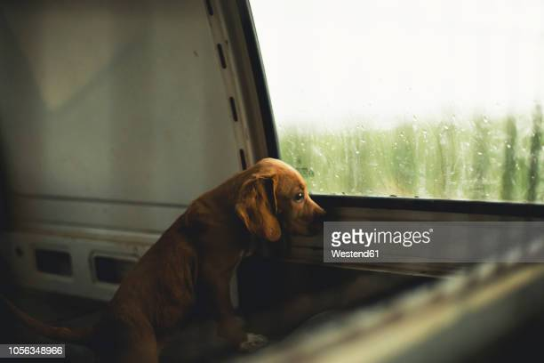 sad puppy looking out the window of a van - abandoned stock pictures, royalty-free photos & images