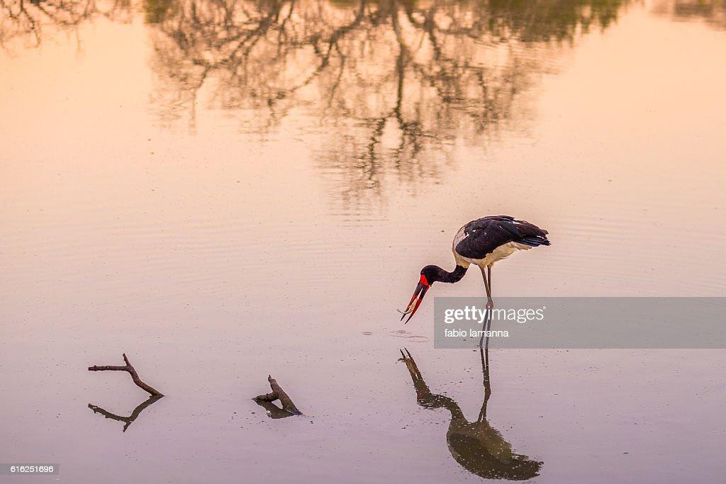 Saddle-billed stork fishing, South Africa : Foto de stock