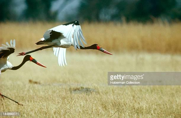 Saddlebilled Storks South Africa Africa