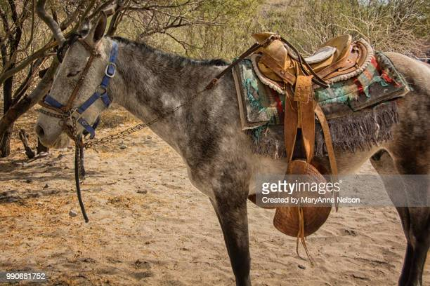 saddled burro resting - mexican riding donkey stock photos and pictures
