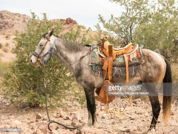 saddled mule waiting in the desert - mexican riding donkey stock photos and pictures