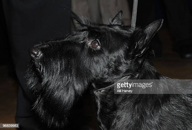 Sadie a Scottish Terrier who won Best In Show at the Westminster Kennel Club Dog Show on Tuesday arrives to ring the opening bell at the New York...