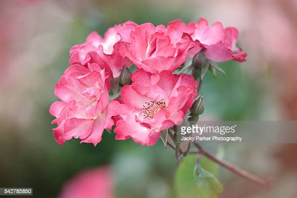 'sadler's wells' pink roses - st. albans stock pictures, royalty-free photos & images