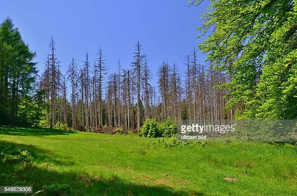 """Saechsische Schweiz, tote Fichten in der Kernzone des Nationalparks, ein Experiment """"Natur Natur sein lassen"""" zur Beobachtung der natuerlichen Auslese"""