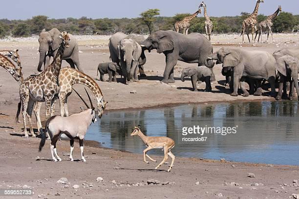 safari animals at lakeshore - grupo grande de animais - fotografias e filmes do acervo