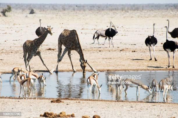 safari animals at watering hole - avestruz fotografías e imágenes de stock