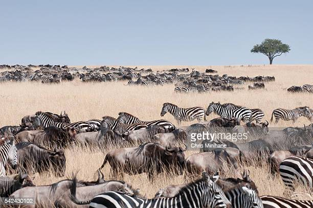 Safari Animals Migration - Kenya.