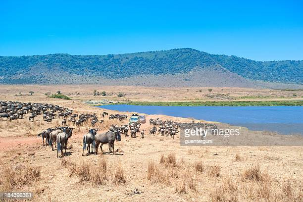 Safari cars in middle of Wildebeests, Ngorongoro Crater