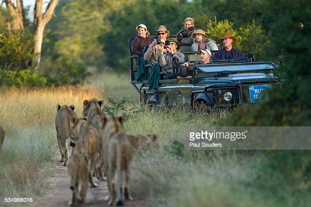 safari game drive, sabi sands reserve, south africa - mpumalanga province stock pictures, royalty-free photos & images