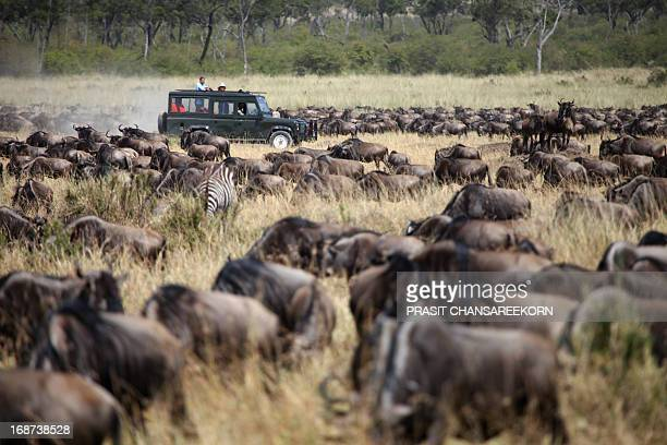 CONTENT] Safari game drive with the wildebeests masai mara reserve in kenya Africa